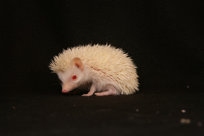 The Cute but Tough African Hedgehog