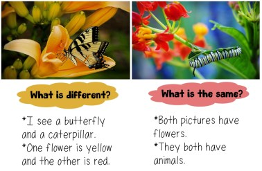 comparing a butterfly on a yellow flower and a caterpillar on red flowers