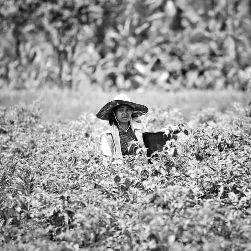 Hard-working Indonesia human under an intense heat in the fields of Rumah Desa, Tabanan.