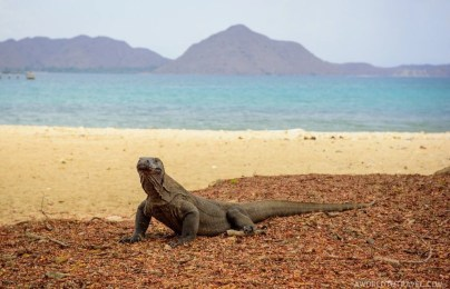 Komodo dragon at Loh Liang's beach, Komodo National Park, Indonesia