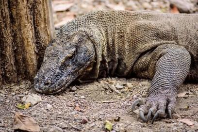 Komodo dragon in Rinca Island, Komodo National Park, Indonesia