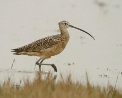 Long-billed Curlew - Romantic Places to Visit in Box Elder County - A World to Travel