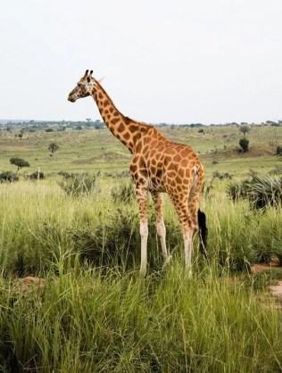 Giraffe - Best National Parks And Uganda Safaris - A World to Travel