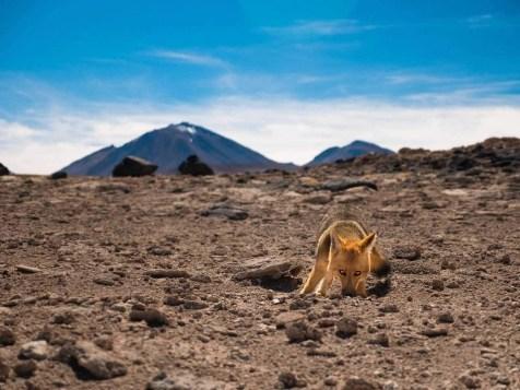 Eduardo Avaroa National Park Laguna Verde Fox - Best Things to Do in Bolivia - A World to Travel