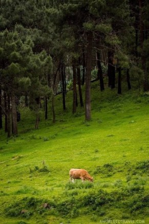 Galician cow roaming free - A World to Travel