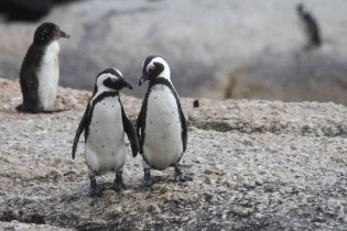 Penguins at Boulders beach - Cape Town - Reasons Why You Should Visit South Africa - A World to Travel