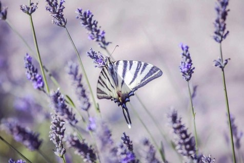 Butterfly sitting on lavender plants in Provence garden