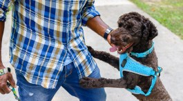 things you should be doing with your labradoodle every day