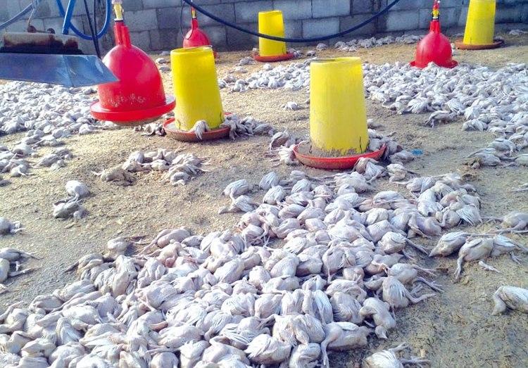 نفوق الدجاج بسطيف.. مؤشر على إنفلونزا طيور جديد؟