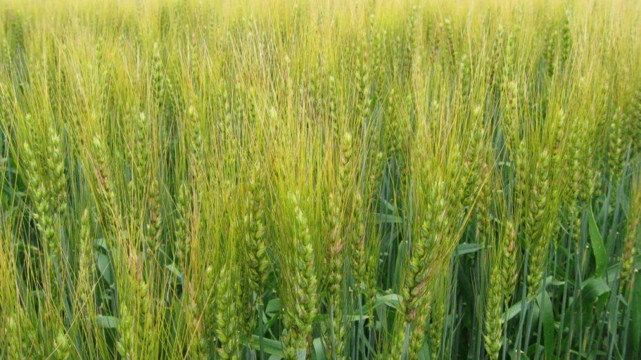 مسؤول بوزارة الفلاحة: حقّقنا اكتفاءً ذاتياً في إنتاج بذور جميع الحبوب