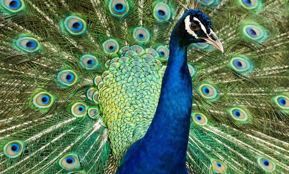 Peacock Animal World And Snake Farm