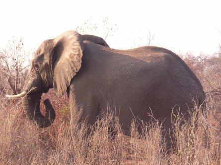 Elefant Krüger Park - Südafrika