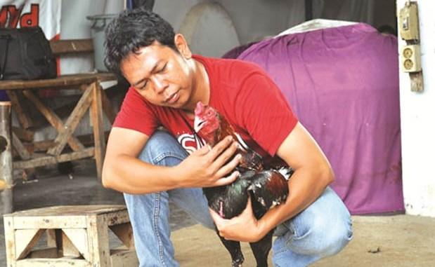 Cara Melatih Pukulan Ayam Bangkok