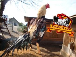 Cara Agar Kulit Ayam Aduan Menjadi Lebih Tebal