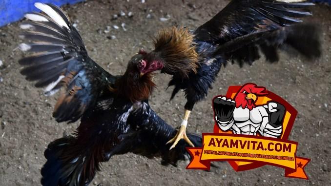 Teknik Bertarung Sabung Ayam di Dunia