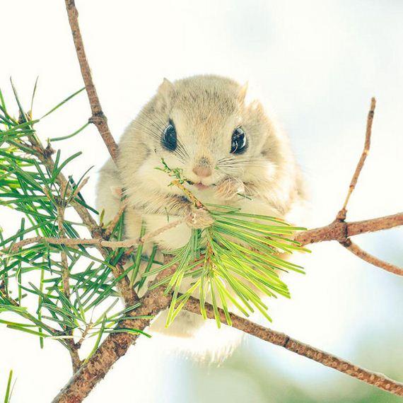 【海外】「なんで日本の動物だけこんなに可愛いの?」北海道に生息するエゾモモンガに海外もメロメロ!