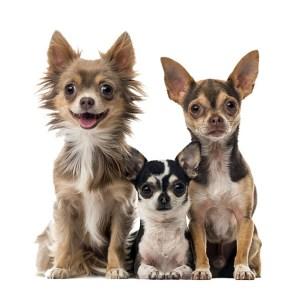 Chihuahua Group