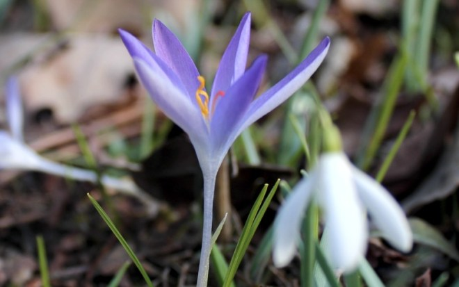 Crocuses at Prague Botanic Garden