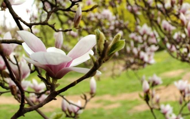 Magnolia in Stromovka_Park