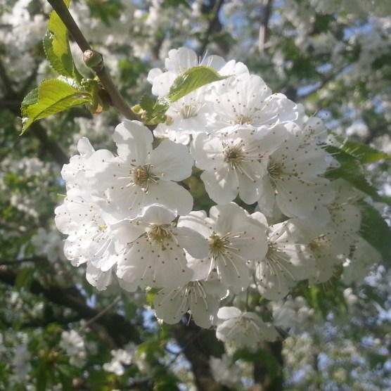 RadkaZimova_White_Blossoms