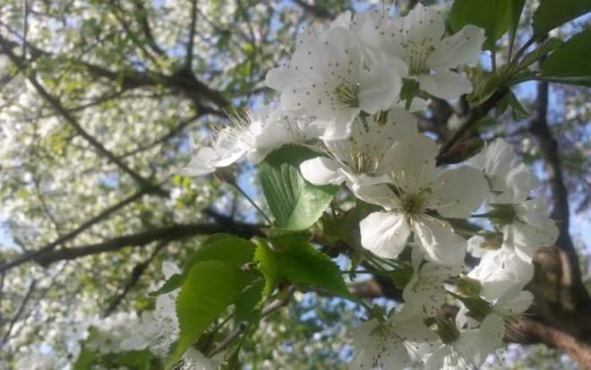 White_Blossoms_StromovkaPark