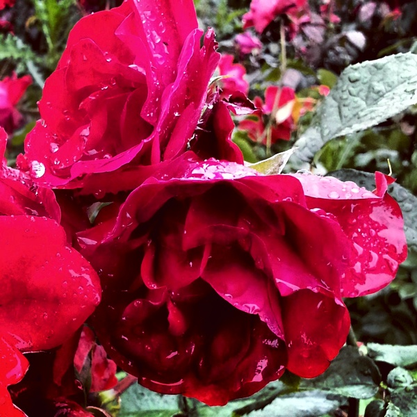 RadkaZKing_RedRoses_AfterRain