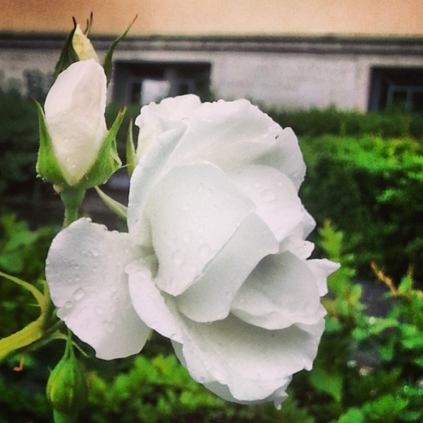 RadkaZKing_White_Rose_AfterRain