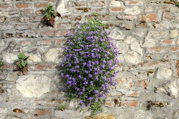 Botanic_garden_wall_with_purple_flowers