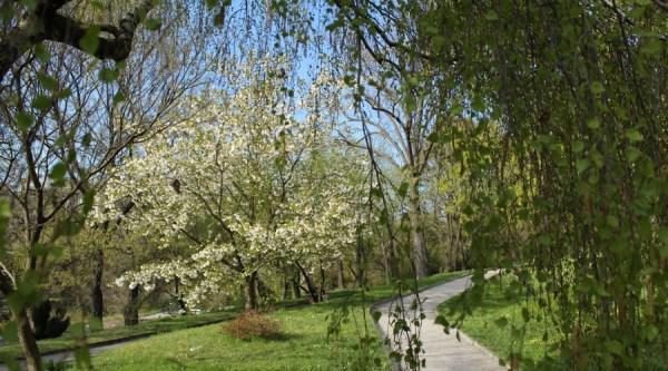 Tree_in_bloom_Karlov_BotanicGarden