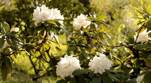 White_rhododendrons_in_bloom