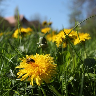 Dandelions_with_aBee_by_RadkaZimovaKing2016