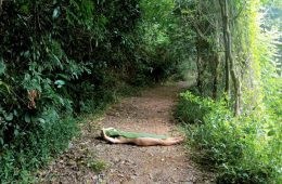 A person lies horizontally across a path, naked, covered by a single, large leaf.