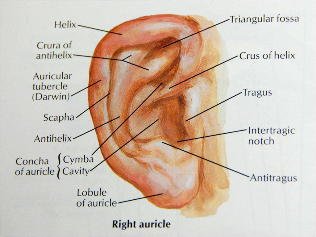 outter ear diagram labeled human strat wiring 5 way super switch system get free image about