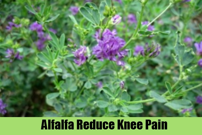 Alfalfa Reduce Knee Pain