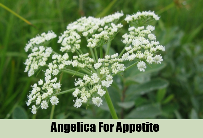 Angelica For Appetite