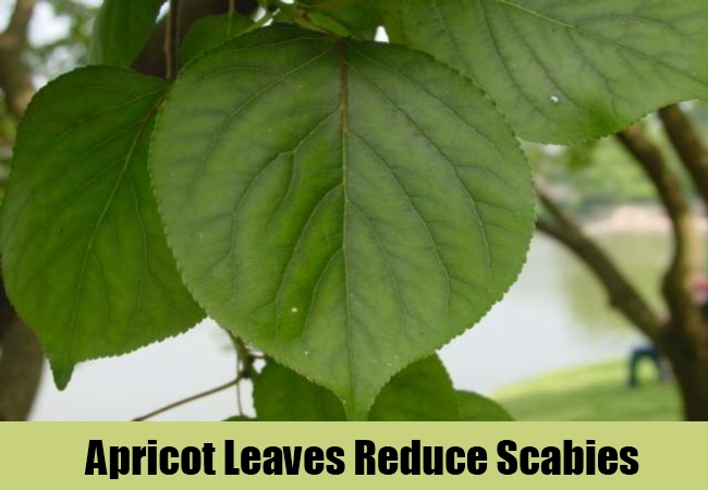 Apricot Leaves Reduce Scabies