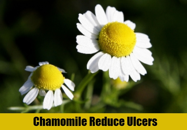 Chamomile Reduce Ulcers
