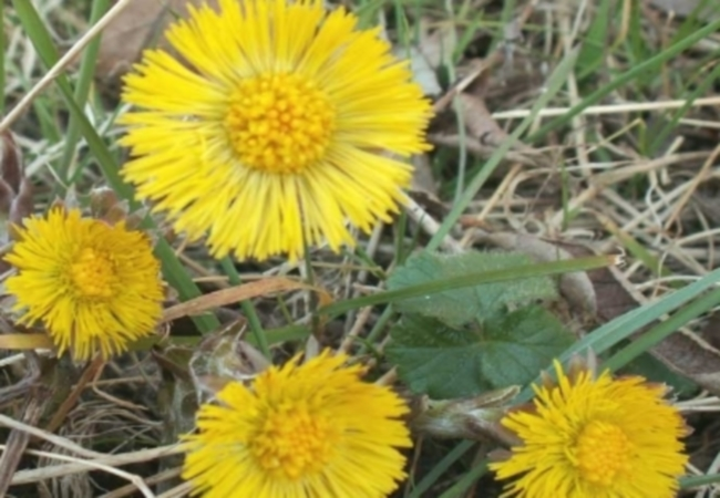 Coltsfoot For Cough