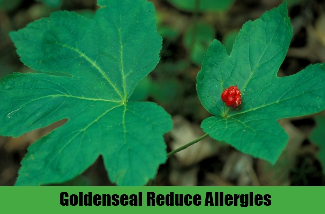 Goldenseal Reduce Allergies