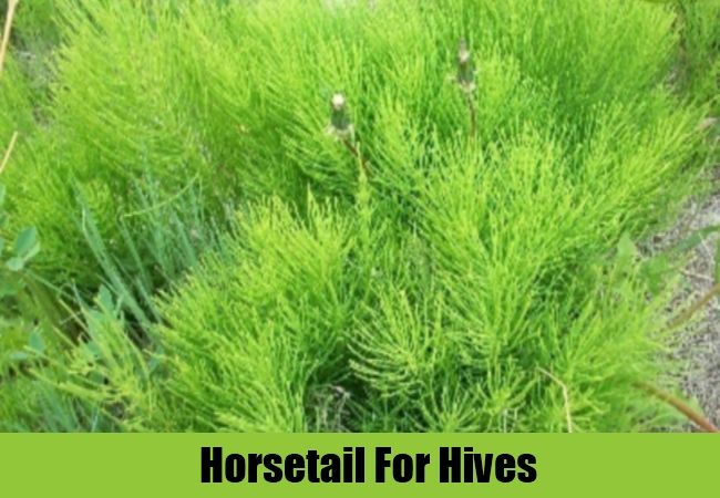 Horsetail For Hives