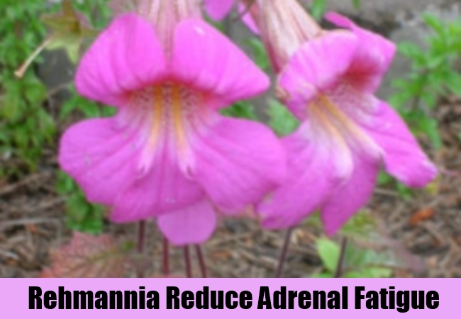Rehmannia Reduce Adrenal Fatigue