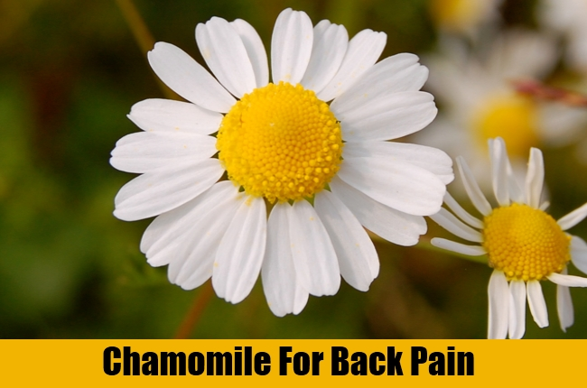 Chamomile For Back Pain
