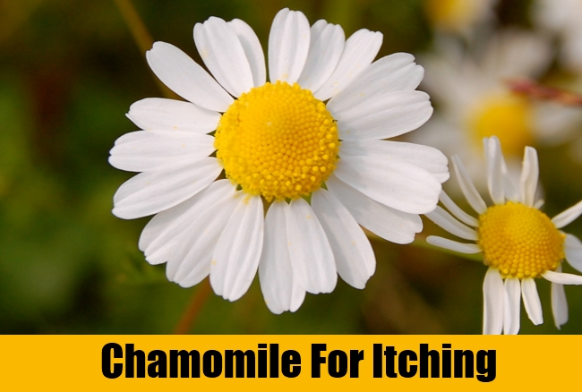 Chamomile For Itching
