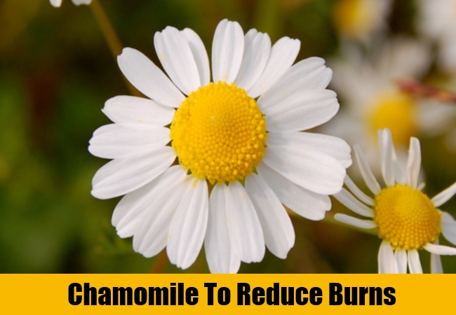 Chamomile To Reduce Burns