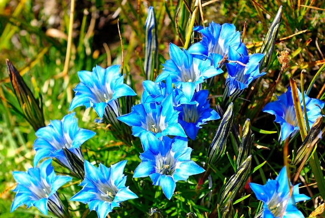 Chinese Gentian