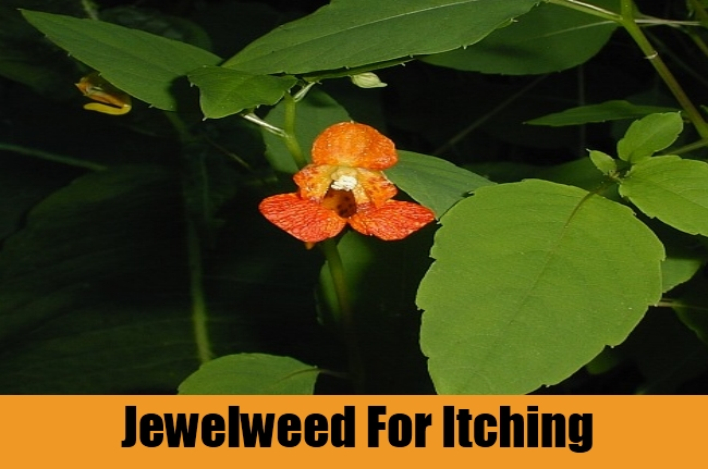 Jewelweed For Itching