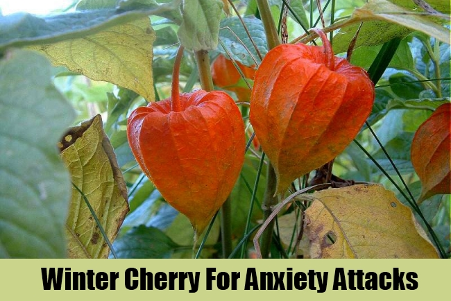 Winter Cherry For Anxiety Attacks