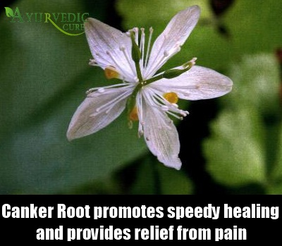 Canker Root