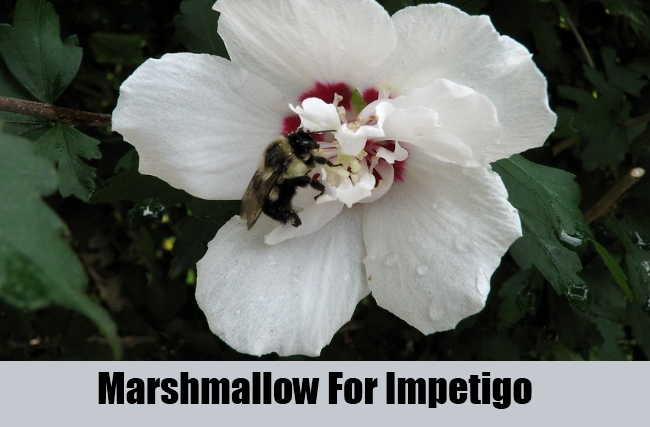 Marshmallow For Impetigo