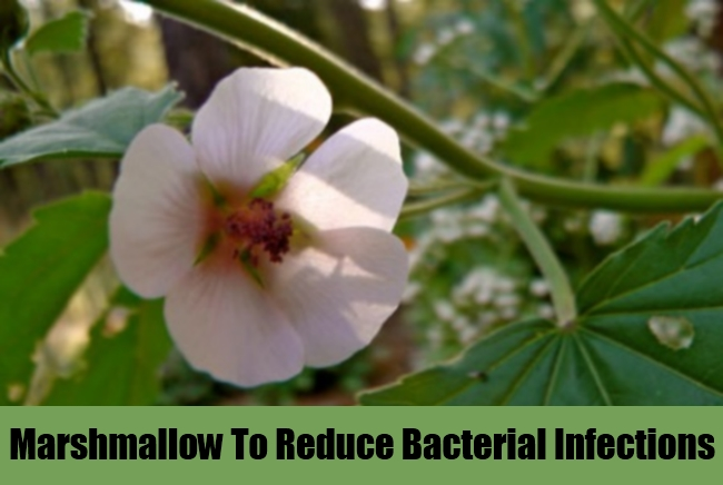 Marshmallow To Reduce Bacterial Infections